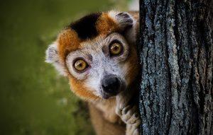 lemur peeking around a tree with a scared look