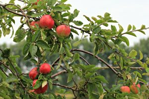 Apples in an orchard on a tree.